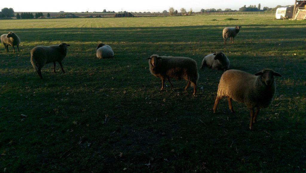 SunriseRun: Schafe