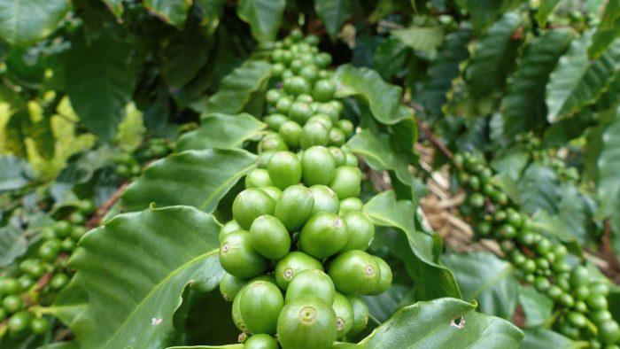Kaffeebohnen auf der Piliani Kope Coffee Farm
